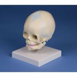 Erler Zimmer, modello anatomico di cranio di feto, su cavalletto 4519