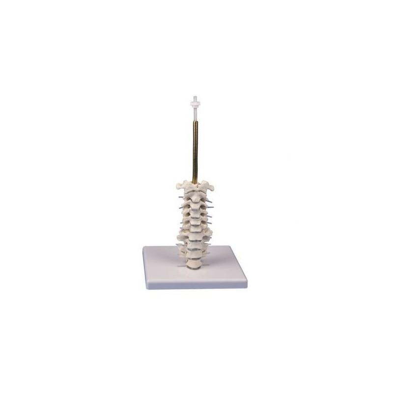 Erler Zimmer, Colonna vertebrale cervicale, su cavalletto 4532
