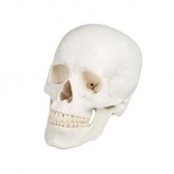 Erler Zimmer, Cranio, modello classico, scomponibile in 3 parti 4500