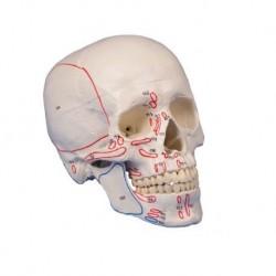 Erler Zimmer, Cranio, modello classico, con inserzioni dei muscoli, scomponibile in 3 parti 4509