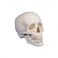 Erler Zimmer, modello di cranio classico, con numerazione delle ossa, scomponibile in 3 parti 4505