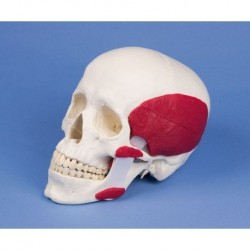 3B Scientific, modello anatomico di orecchio, ingrandito 3 volte, in 4 parti E10