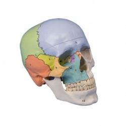Erler Zimmer, modello di cranio classico colorato, scomponibile in 3 parti 4508
