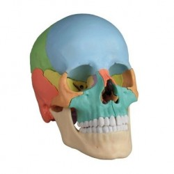 3B Scientific, modello anatomico di orecchio da scrivania, ingrandito 1,5 volte, E12