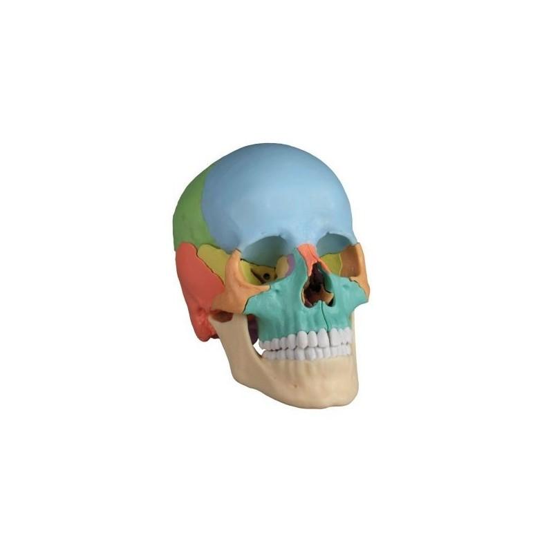 Cranio Erler Zimmer scomponibile in 22 parti colorato 4708