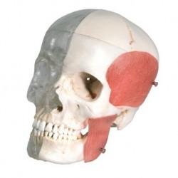 3B Scientific, modello anatomico di ossicini dell'orecchio, E13