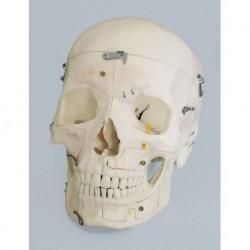 Erler Zimmer, modello anatomico di cranio magnetico scomponibile in 14 parti 4515
