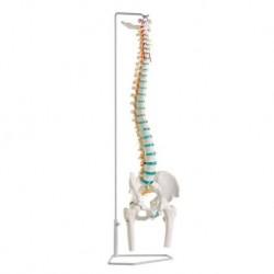 Erler Zimmer, modello di colonna vertebrale flessibile classica con bacino e tronchi dei femori A251