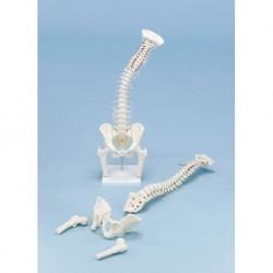3B Scientific, modello anatomico di laringe, in 2 parti G22