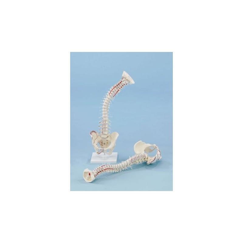 Erler Zimmer, modello di colonna vertebrale di alta qualità con bacino e inserzioni muscolari 4011/1