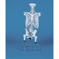 Erler ZImmer, modello anatomico di colonna vertebrale per lo studio di malformazioni, con gabbia toracica, zilgrei 4018
