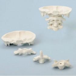 Erler Zimmer, modello di articolazione del cranio , ingrandita di due volte, scomponibile in 4 parti 4083/1