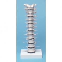 Erler Zimmer, modello anatomico di colonna vertebrale toracica, su stand