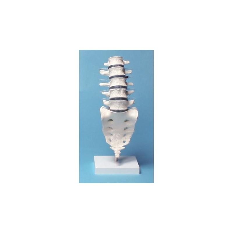 Erler Zimmer, modello anatomico di colonna vertebrale lombare, su stativo 4036