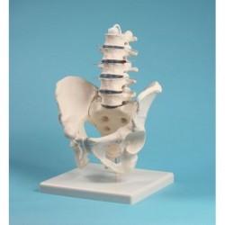 Erler Zimmer, modello anatomico di colonna vertebrale lombare, con bacino, su stativo 4040