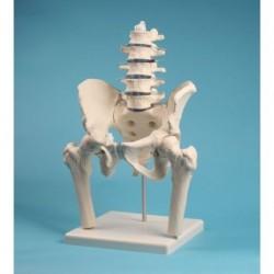 Erler Zimmer, modello anatomico di colonna vertebrale lombare, con bacino e tronchi dei femori, su stativo 4045