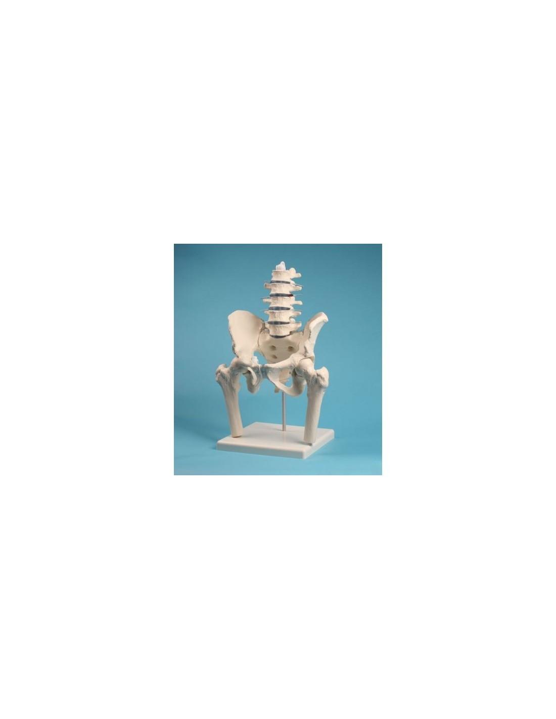 3B Scientific, mesa anatómica, pósters La laringe (cod. VR4248UU)