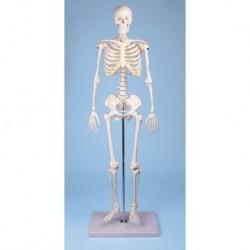 Erler Zimmer, modello di scheletro didattico Tom, a grandezza dimezzata 3032