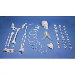 Erler Zimmer, modello didattico di scheletro destro disassemblato 3024