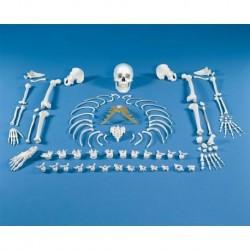 Erler ZImmer, Modello anatomico di scheletro disassemblato 3020