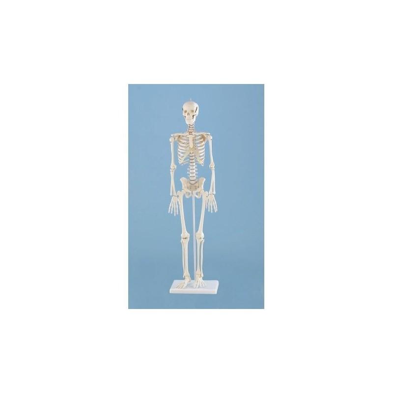 Erler Zimmer, Modello anatomico di miniatura di scheletro, Patrick 3030