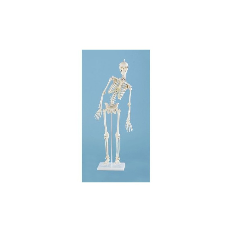 3B Scientific, mesa anatómica, pósters El dentado (cod. VR4263L)