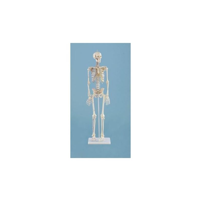 Erler ZImmer, modello anatomico in scala ridotta di scheletro umano, con inserzioni muscolari