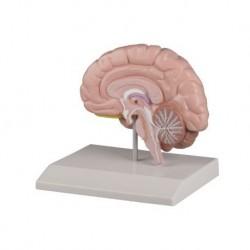 Erler Zimmer, modello anatomico della metà destra del cervello a grandezza naturale C215