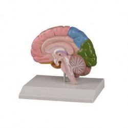 Erler Zimmer, modello anatomico della metà destra del cervello a colori, a grandezza naturale C221