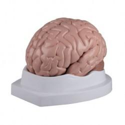 Erler Zimmer, modello anatomico di cervello, scomponibile in 5 parti C218