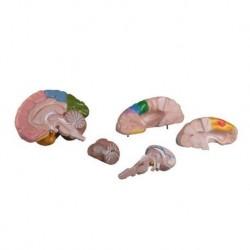 Erler Zimmer, modello C222 anatomico funzionale di cervello, scomponibile in 5 parti