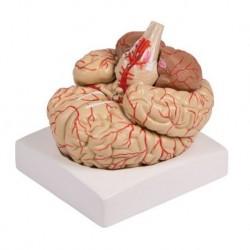 Erler Zimmer, modello anatomico di cervello con arterie, scomponibile in 9 parti C220