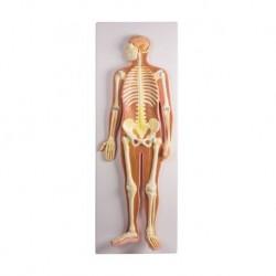 Erler Zimmer, Poster anatomico in rilievo 3D, il sistema nervoso