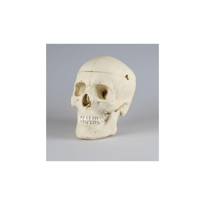 Erler Zimmer, modello anatomico di lusso di cranio classico 4710