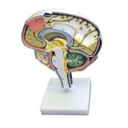 Erler Zimmer, modello anatomico di sezione del cervello C77