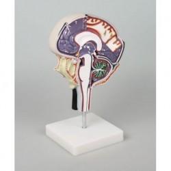 Erler Zimmer, modello anatomio di cranio di feto colorato (38 settimane)