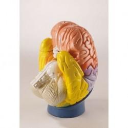 Erler Zimmer, le regioni del cervello umano, ingrandito 2 volte, scomponibile in 4 parti R10122
