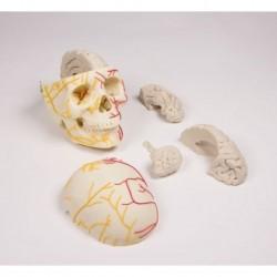 Osteoposter - Dermatomi Gambe
