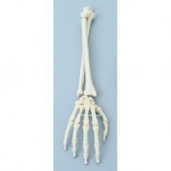 Erler Zimmer, modello anatomico funzionale di articolazione della mano e del braccio inferiore 6008