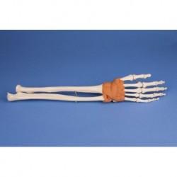 Erler Zimmer modello anatomico di mano e scheletro del braccio inferiore, con legamenti