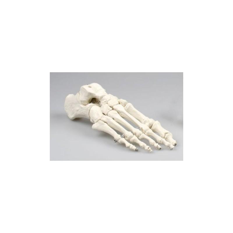 Erler Zimmer, modello anatomico di articolazione dello scheletro del piede