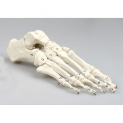 Erler Zimmer, modello anatomico di articolazione dello scheletro del piede, con numerazione delle ossa