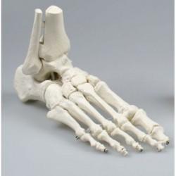 Erler Zimmer, modello anatomico di articolazione dello scheletro del piede, con tronchi di tibia e perone 6053