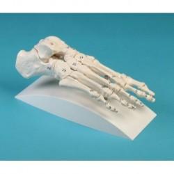 Offerta Cranio bianco scomponibile in 22 parti + Colonna Vertebrale Erler Zimmer
