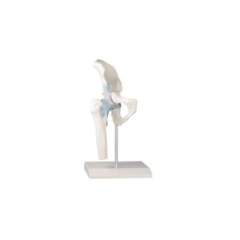 Erler Zimmer, modello anatomico funzionale di articolazione dell'anca, con legamenti, su stativo 4553