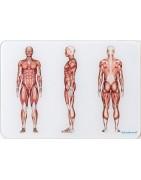 Osteoboard, le tavole anatomiche in plexiglass per gli osteopati professionisti