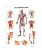 tavole anatomiche umane, poster anatomici, poster anatomia, vendita tavole anatomiche, poster educazione scientifica laminati