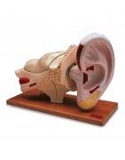 Modelli anatomici di orecchio umano, 3B Scientific, Erler Zimmer, Somso