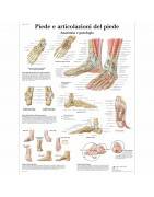 anatomical plates of the human, a poster, anatomical poster, anatomy of, sale of anatomical tables, posters, science education
