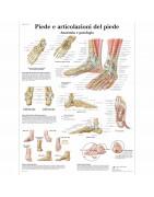 tavole anatomiche umane, poster anatomici, poster anatomia, vendita tavole anatomiche, poster educazione scientifica cartacei